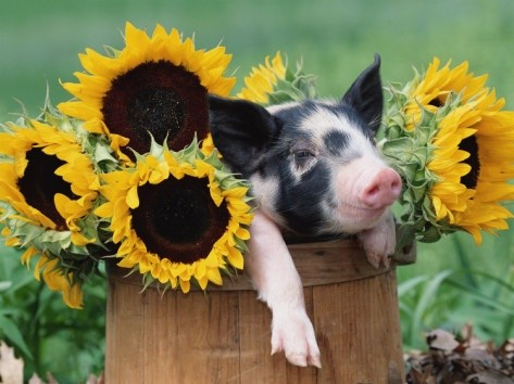 Sunflowers pig