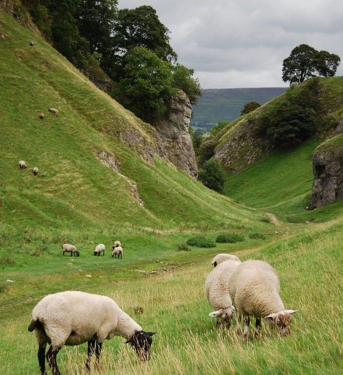 Goast grazing